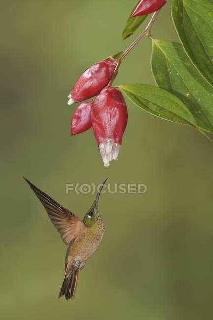 Colibri fauve brillant se nourrissant de fleurs rouges en volant . — Photo de stock