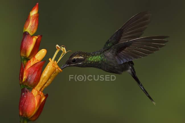 Colibri blanc moustaches Ermite s'alimentant à fleurs exotiques alors qu'il volait en forêt. — Photo de stock