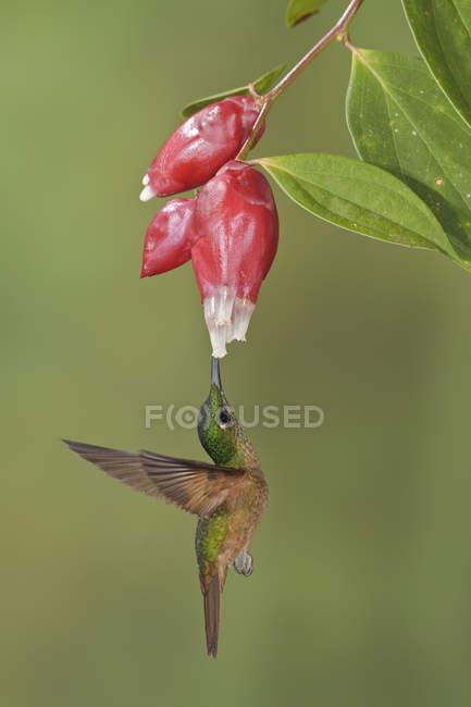 Палевий грудьми блискучий колібрі годування на червоні квіти під час польоту. — стокове фото