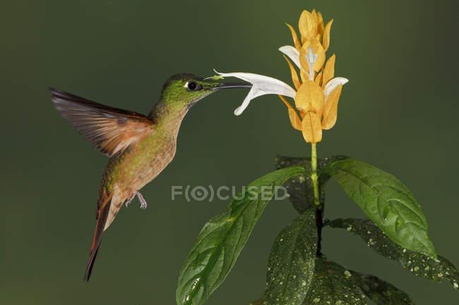 Палевий грудьми блискучий колібрі годування на екзотичних рослин під час польоту. — стокове фото