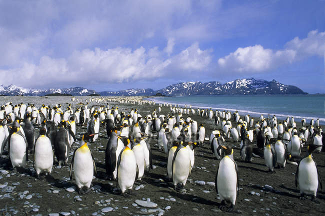 Королевские пингвины шляться на пляже на равнине Солсбери, остров Южная Георгия, Южной части Атлантического океана — стоковое фото