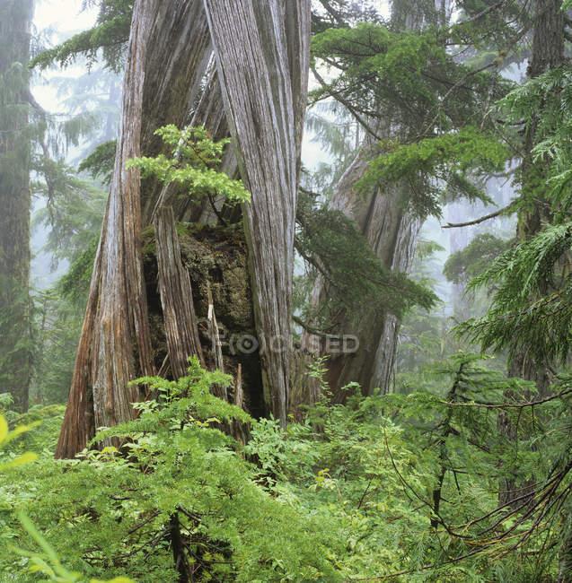 Abeti crescono nel vecchio cipresso, gamma di Caren, penisola di Sechelt, Columbia britannica, Canada. — Foto stock