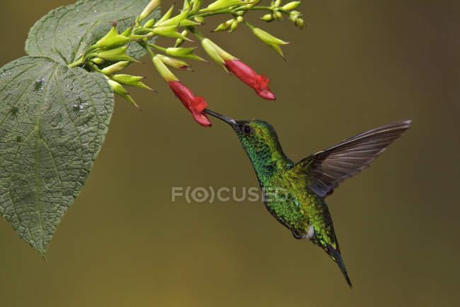 Colibrì verde smeraldo occidentale volo e alimentazione a fiori tropicali della foresta pluviale. — Foto stock