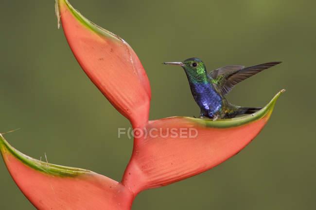 Фіолетовий білочеревий колібрі сідати на тропічну квітку. — стокове фото
