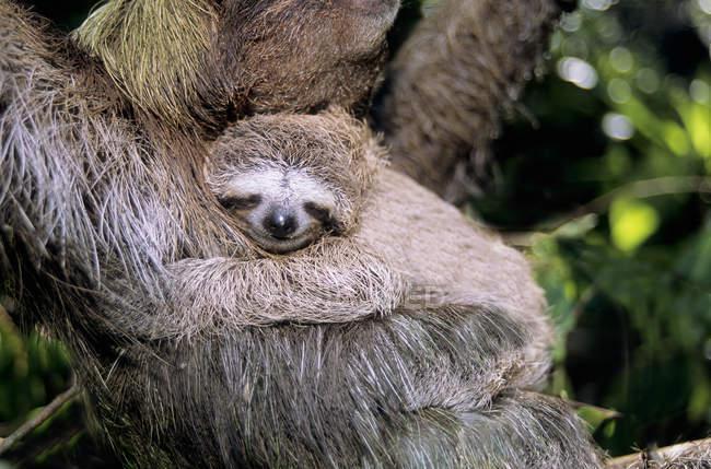 Трёхпалый ленивец, несущий молодое животное на мангровом дереве в Панаме — стоковое фото