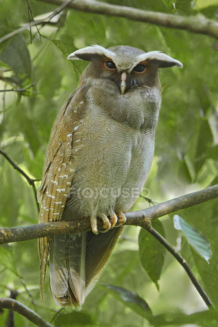 Crested owl perched on branch near in Amazonian Ecuador. — Stock Photo