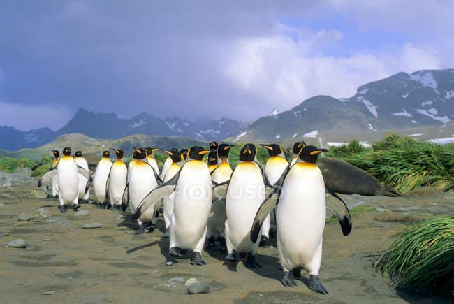 Королевские пингвины, ходьба на приморской равнине Солсбери, остров Южная Георгия, Южной части Атлантического океана — стоковое фото