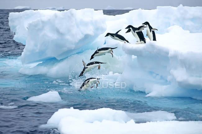 Gruppo di pinguini di Adelie che saltano dal ghiaccio all'acqua per il viaggio di foraggiamento, penisola antartica . — Foto stock