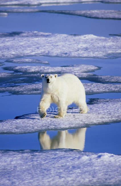 Chasse à l'ours polaire sur la fonte des glaces de l'archipel du Svalbard, la Norvège Arctique — Photo de stock