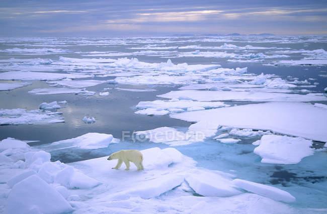 Chasse à l'ours polaire sur la banquise de l'archipel du Svalbard, Norvège. — Photo de stock