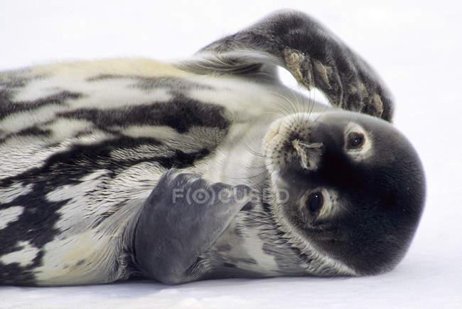 Weddell seal pup lying on snow, Weddell Sea, Antarctica — Stock Photo