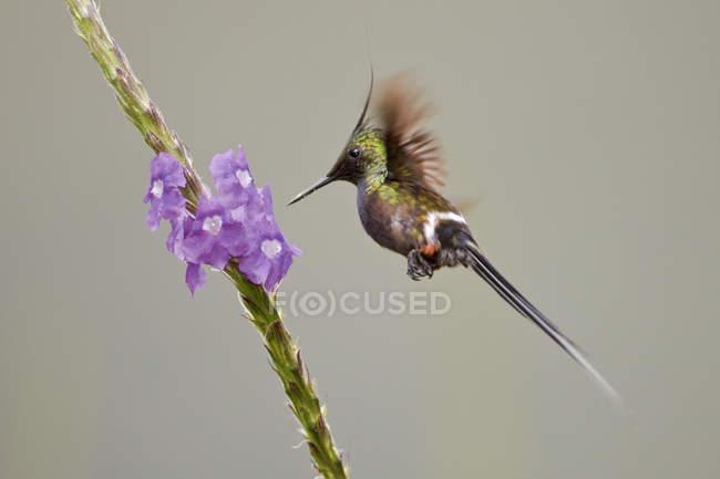 Drahtschopfkolibri ernährt sich im Flug von Blumen in Ecuador. — Stockfoto