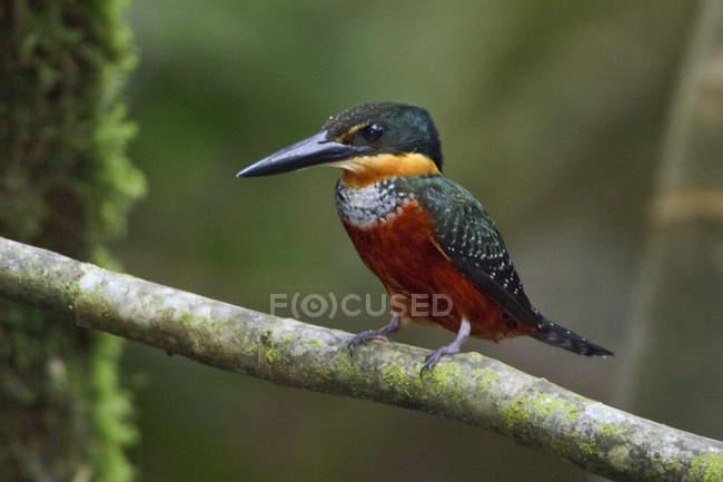 Martin-pêcheur vert et roux perché sur une branche en Équateur amazonien . — Photo de stock