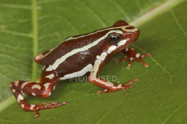 Tropical frog perched on green leaf, close-up — стокове фото