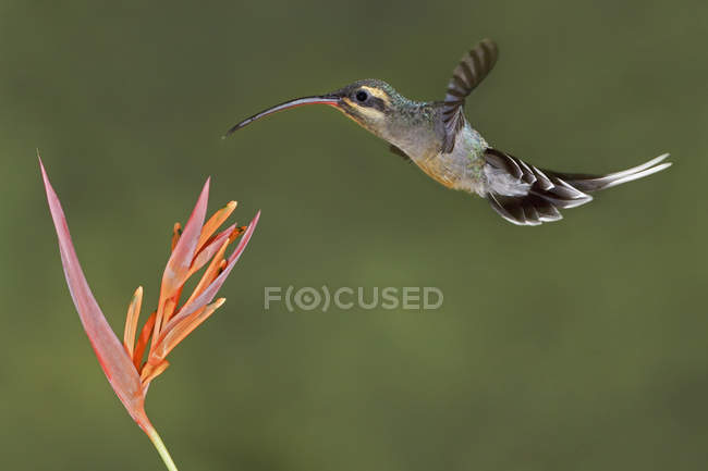 Nahaufnahme eines Kolibris, der über eine Blume in Ecuador fliegt. — Stockfoto