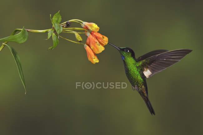 Buff-winged starfrontlet volando y alimentándose en la planta con flores en el bosque . - foto de stock