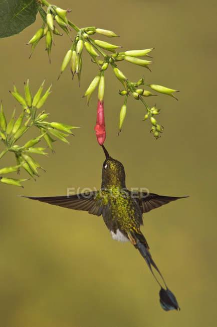 Було виконано rufous рекет хвіст колібрі політ під час годування на цвітіння рослин у тропічному лісі. — стокове фото