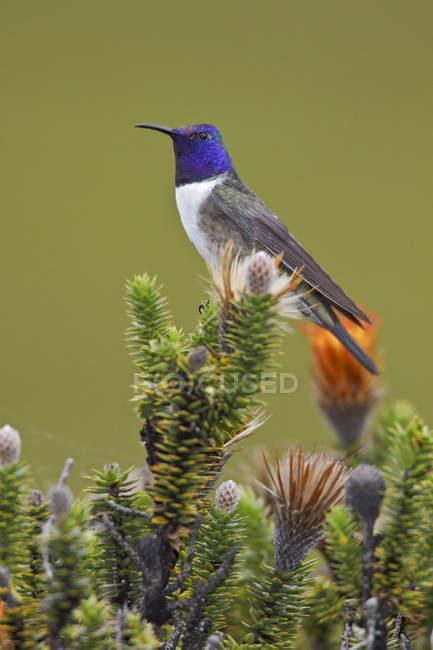 Oreotrochilus équatorien, perché sur les plantes à fleurs dans les hautes terres de l'Équateur. — Photo de stock