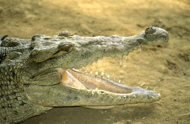 Crocodilo americano, aquecendo-se na margem do rio no Panamá, América Central — Fotografia de Stock