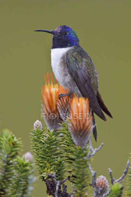 Estrella de la colina ecuatoriana posada sobre planta con flores en las tierras altas de Ecuador . - foto de stock