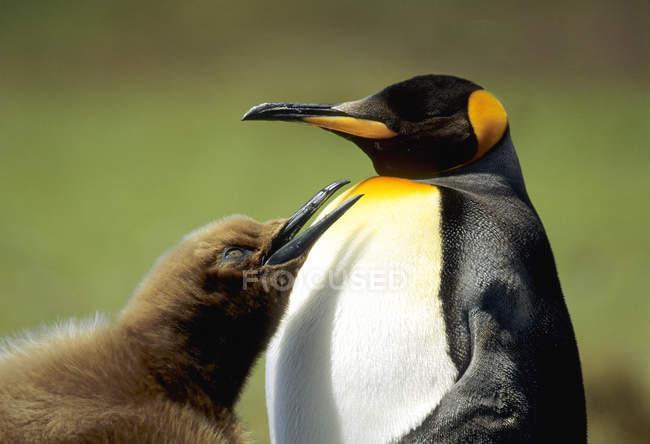Pinguino reale con pulcino mendicante a Salisbury Plain, Georgia del Sud, Oceano Atlantico meridionale — Foto stock