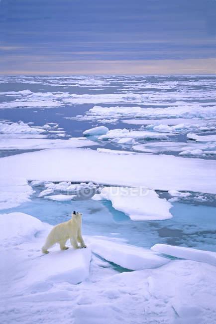 Eisbärenjagd auf dem Packeis des Archipels Spitzbergen, Norwegen. — Stockfoto