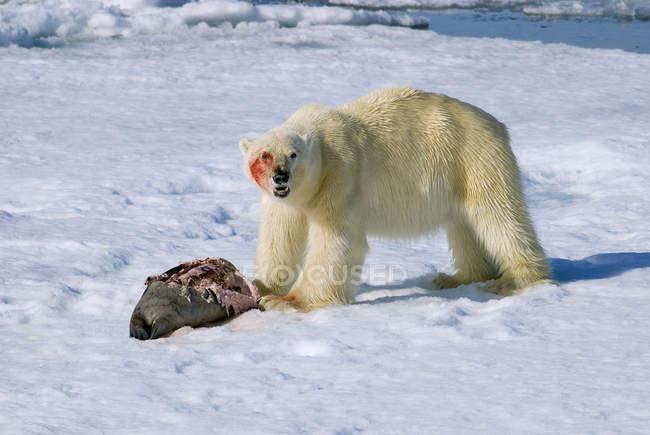 Ours polaire nourrir de proies de joint sur la neige de l'archipel du Svalbard, la Norvège Arctique — Photo de stock