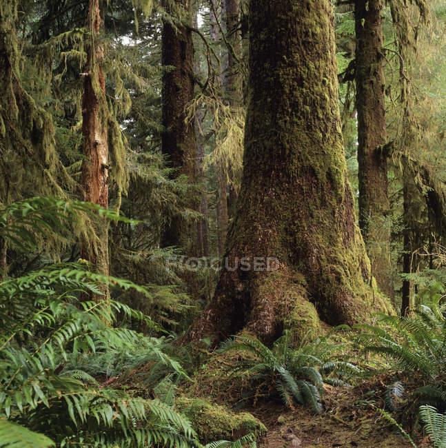 Western hemlocks in Carmanah Provincial Park, Vancouver Island, British Columbia, Canada. — Stock Photo