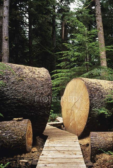 Grande albero di abete caduto con passerella a Carmanah Provincial Park, British Columbia, Canada. — Foto stock