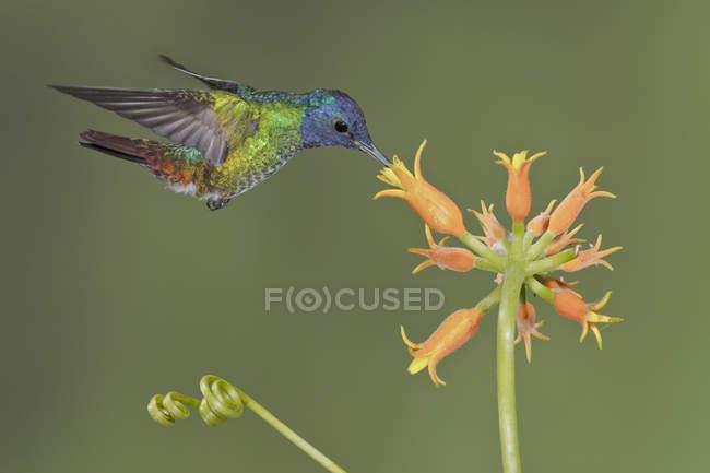 Colibrí zafiro oro cola de alimentación en la planta de floración mientras vuela, primer plano. - foto de stock