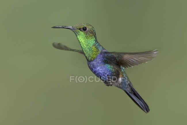 Вилка білохвоста woodnymph колібрі наведення крила в польоті. — стокове фото