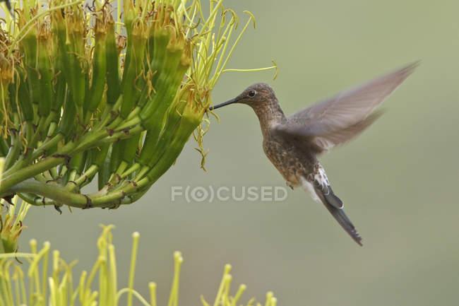 Picaflor gigante revoloteando las alas y alimentación en plantas con flores. - foto de stock