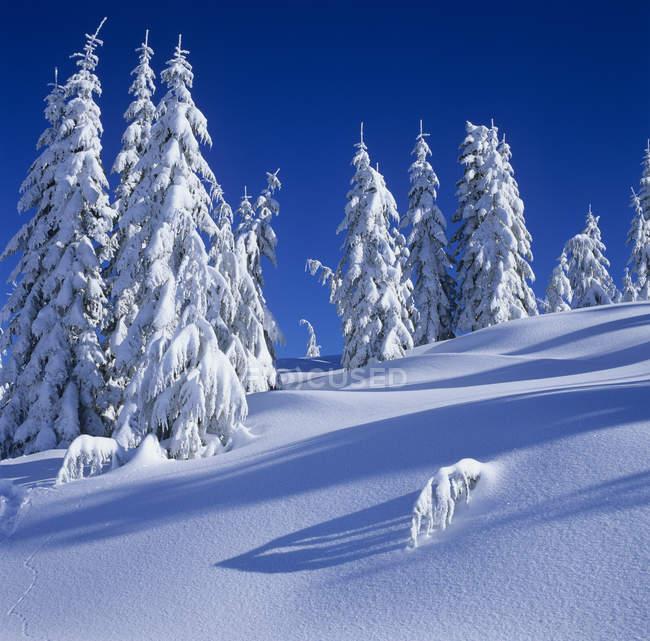 Arbres enneigés et versants du mont Elphinstone, Colombie-Britannique, Canada . — Photo de stock