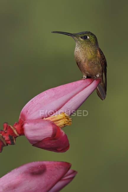 Gros plan du Colibri brillant à poitrine fauve, perché sur une fleur exotique dans la forêt tropicale. — Photo de stock