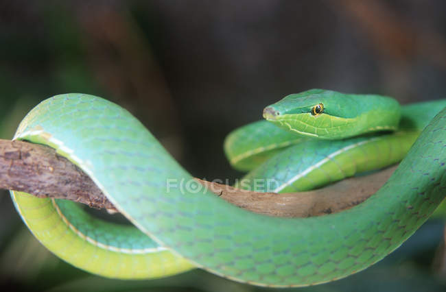 Green parrot snake on tree branch in Costa Rica forest. — Stock Photo