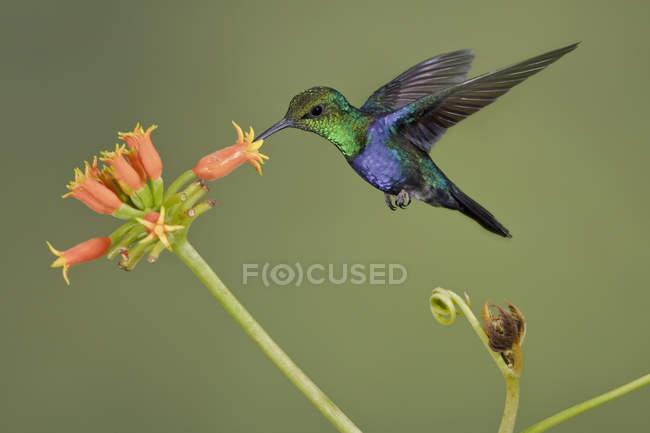 Цветущая вилочно-хвостая днимфа, парящая во время полета на цветах . — стоковое фото