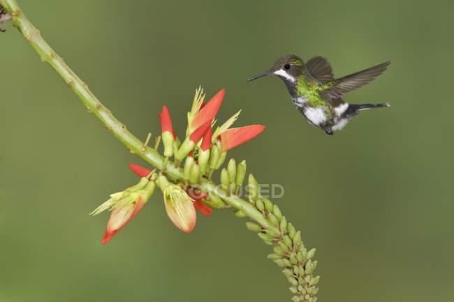Gros plan du colibri à épines vertes se nourrissant en vol à une plante à fleurs tropicales . — Photo de stock