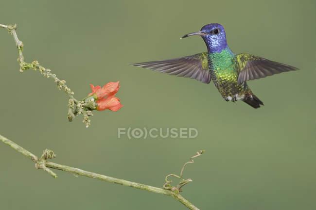 Colibrí zafiro oro cola de alimentación en las flores volando en el bosque. - foto de stock