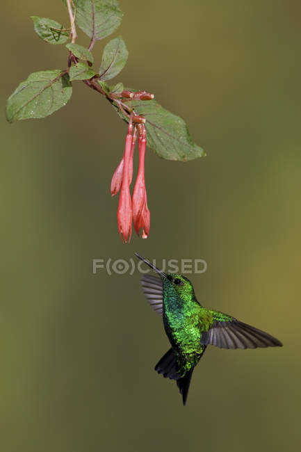 Західні смарагдовий колібрі Літне й годування в тропічних квітів дощовий ліс. — стокове фото