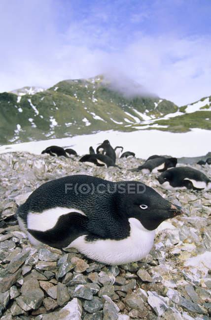 Вложенность колония пингвинов Адели на острове Паулет, Антарктический полуостров — стоковое фото