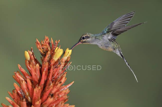 Закри зелений відлюдник колібрі годування на тропічну квітку під час польоту. — стокове фото