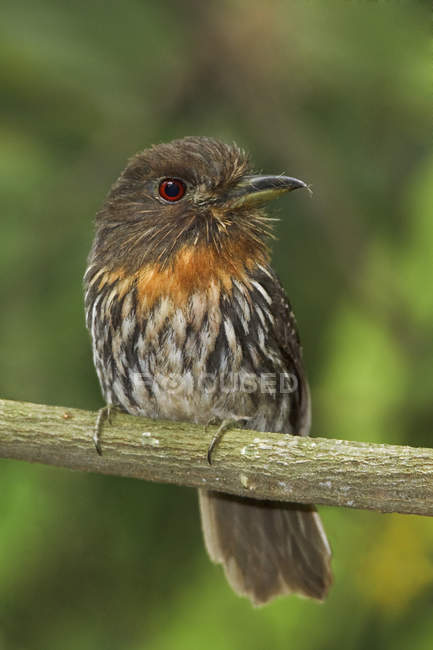 Bianco-whiskered puffbird appollaiato sul ramo in Ecuador. — Foto stock