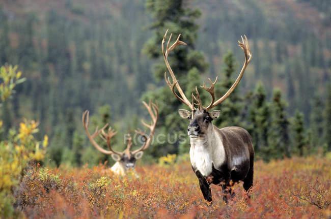 Caribú de toros en la hierba otoñal de Alaska, Estados Unidos. - foto de stock