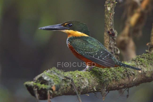 Eisvogel auf Zweigen im tropischen Regenwald. — Stockfoto