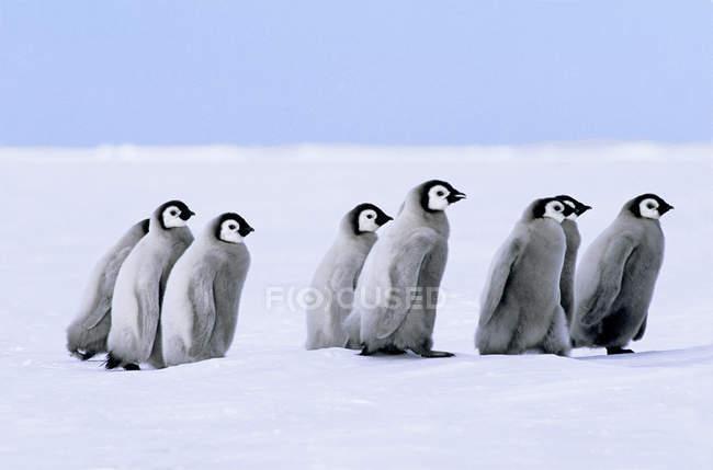 Императорских пингвинов цыплят, прогулки по снегу, море Уэдделла, Антарктида. — стоковое фото