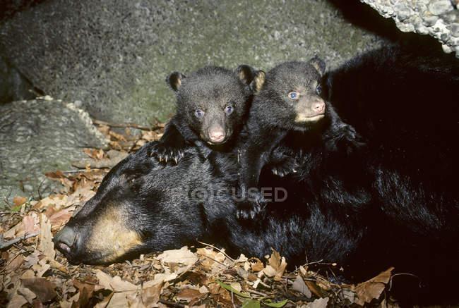 Ведмідь дитинчат Гра зі сном жіночий ведмедя в зимовий Ден, штат Пенсільванія, США — стокове фото