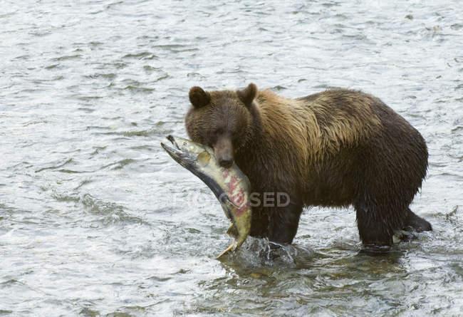 Urso pardo em pé na água com Salmão Keta apanhado em Fish Creek da floresta do Nacional Tongass, Alaska, Estados Unidos da América. — Fotografia de Stock