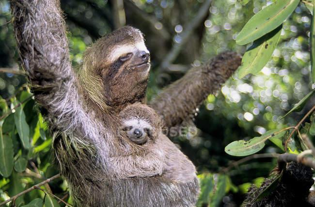 Bradipo a tre dita che trasporta un giovane animale su un albero di mangrovie a Panama — Foto stock