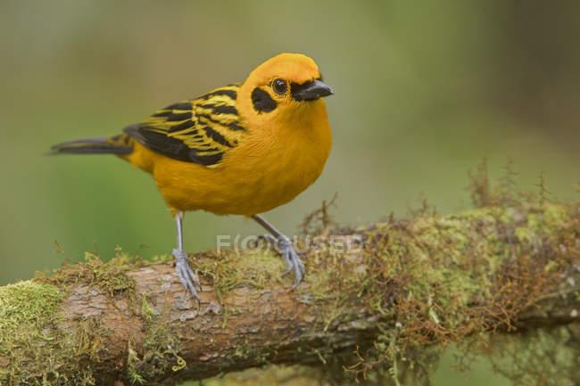 Goldener Tanager thront auf Ast in Ecuador. — Stockfoto