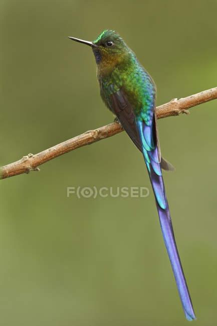 Colibrì coda viola silfide appollaiato sul ramo nella foresta. — Foto stock